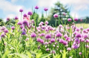 chives-798538_640_306x200_crop